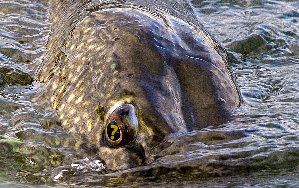 In MAART mag je gewoon op snoek vissen – Vragen over de gesloten tijd