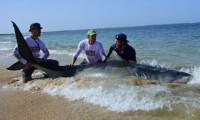 Jaws vanaf het strand – Interview met extreem grote vissen vanger><span class=