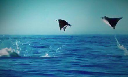 Vliegende manta's