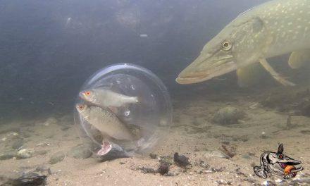 Kijk en observeer – aasvis in een glazen bol