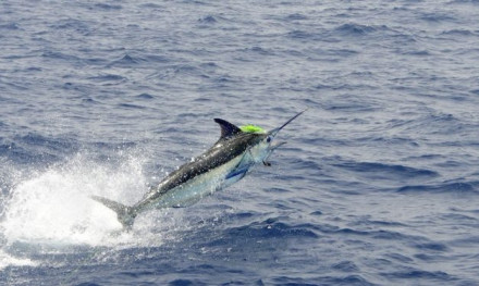 5 top 'DICHTBIJ'-bestemmingen voor marlijnen – Tom's Catch