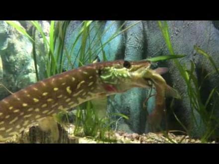 Snoek pakt voorn in aquarium