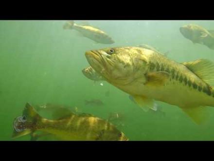 De vetste onder water beelden van black bass