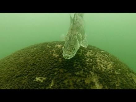 Snoekbaars valt duikers aan