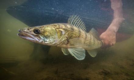 Geraadpleegde literatuur – Overlevingskansen vis bij release – Sophie Neitzel