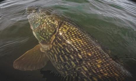 Terminal tackle allesbepalend bij vissen op XXL snoek